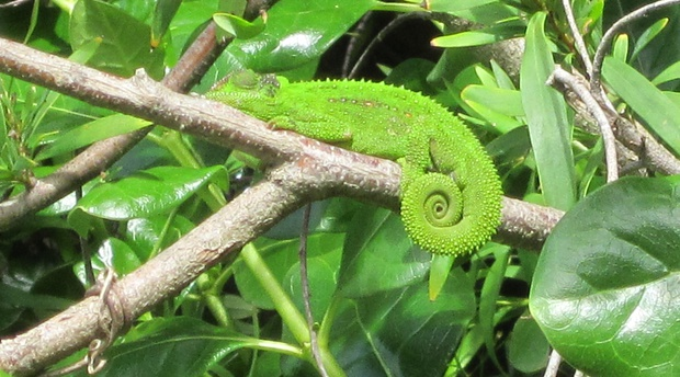 Blaauwheim's eco-friendly garden is full of Cape Dwarf Chameleons.